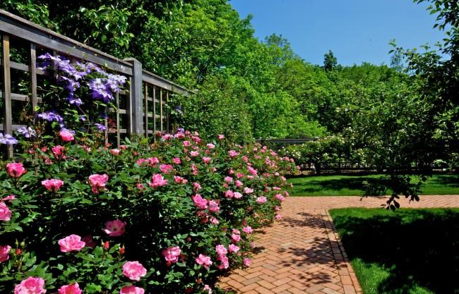 Важное условие при посадке розы - удобренная и рыхлая почва