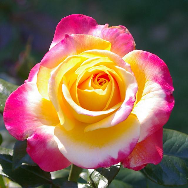 Аристократичная красота цветущей парковой розы - красавицы из XIX столетия