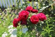 Фото 14 Парковые розы (50 фото): аристократизм и ностальгическая изысканность вашего сада