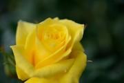 Фото 16 Парковые розы (50 фото): аристократизм и ностальгическая изысканность вашего сада