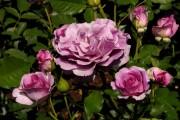 Фото 15 Парковые розы (50 фото): аристократизм и ностальгическая изысканность вашего сада