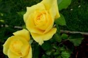 Фото 18 Парковые розы (50 фото): аристократизм и ностальгическая изысканность вашего сада