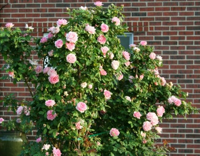 Этот сорт сравнительно новый, сочетает великолепную форму цветка и низкий аккуратный куст, благодаря чему идеально подходит для живой изгороди