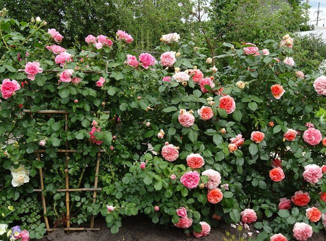 У этого сорта парковой розы много преимуществ: он имеет красивую и высокую форму куста, устойчив к болезням и морозам, обильное цветет, а также устойчив к дождям