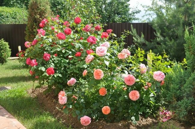 В течение всего сезона необходимо рыхлить почву около кустов, вносить удобрения летом, а на зиму окучивать куст. Это позволит лучше пережить зимние холода, а так же сохранит от замерзания спящие почки