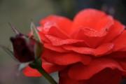 Фото 22 Парковые розы (50 фото): аристократизм и ностальгическая изысканность вашего сада