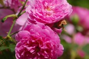 Фото 1 Парковые розы (50 фото): аристократизм и ностальгическая изысканность вашего сада