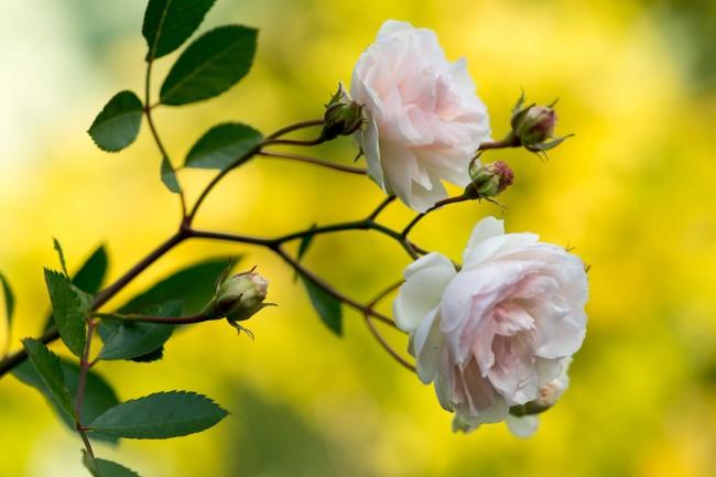 Полиантовая роза сорта Marie-Jeanne