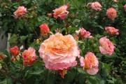 Фото 4 Парковые розы (50 фото): аристократизм и ностальгическая изысканность вашего сада