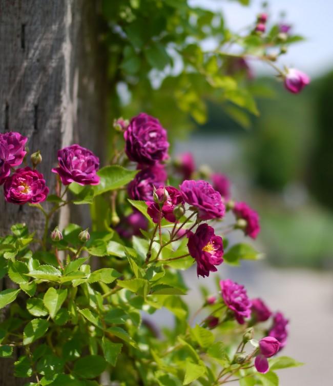 Редко можно увидеть розу в фиолетовом цвете. На фото: сорт Bleu Magenta