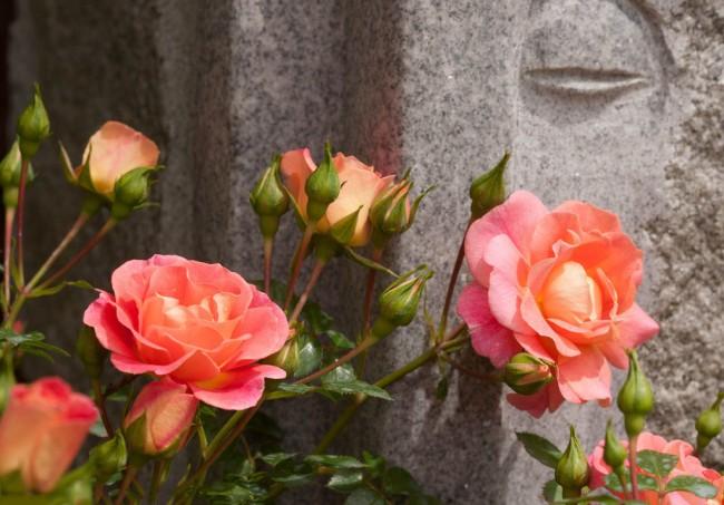 Парковая роза может послужить прекрасной альтернативой чайно-гибридной розы в вашем саду