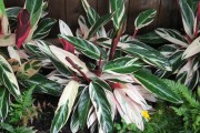 Фото 12 Тропическая красавица строманта: Правила ухода в домашних условиях 40+ фото
