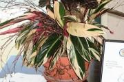 Фото 13 Тропическая красавица строманта: Правила ухода в домашних условиях 40+ фото