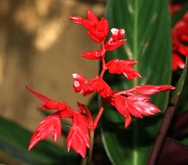 Во время цветения: ярко-красные цветы