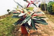 Фото 17 Тропическая красавица строманта: Правила ухода в домашних условиях 40+ фото