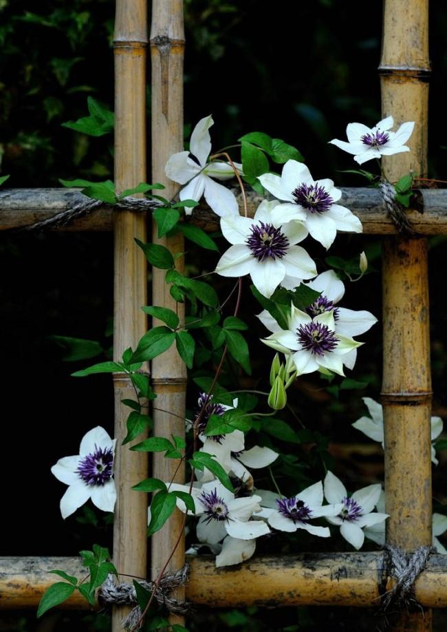 Вьющиеся растения придадут красоты и свежести вашей придомовой ограде
