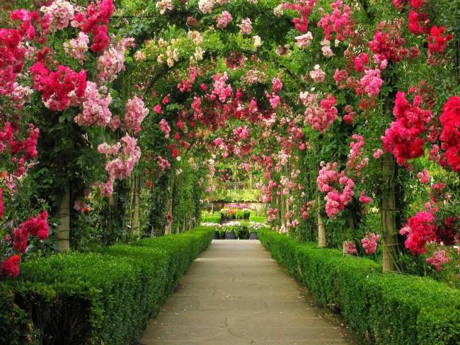 Садовая арка — это один из наиболее удобных способов для выращивания плетущихся роз