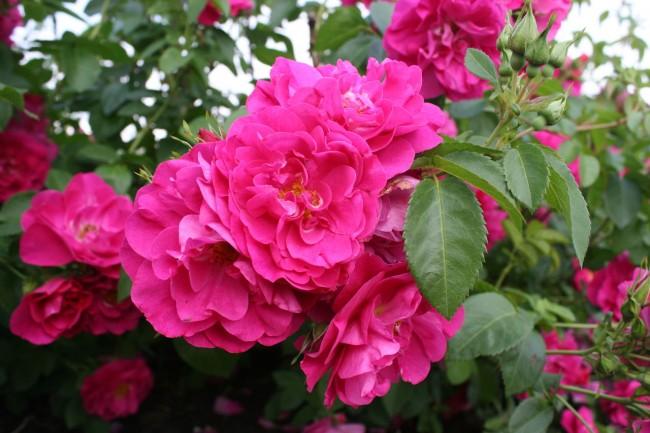 Ярко-розовая канадская роза