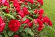 Фото 6 Роскошные кустовые розы: 50 изысканных садов с королевским ландшафтом (фото)