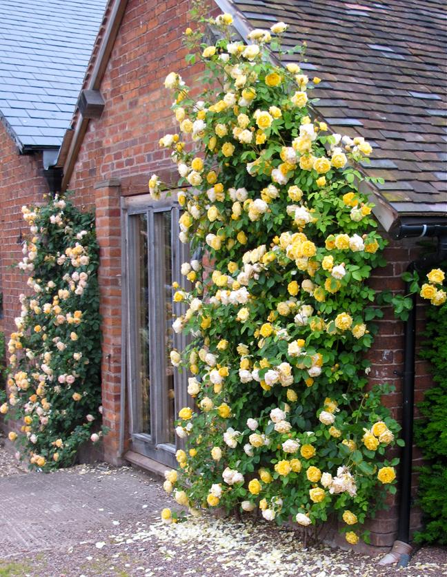 Выращивание кустовых роз само по себе очень интересно, как новичкам, так и профи