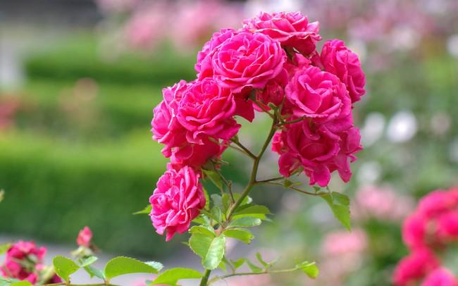 """Кустовые розы фото. Роза """"Elmshorn"""""""