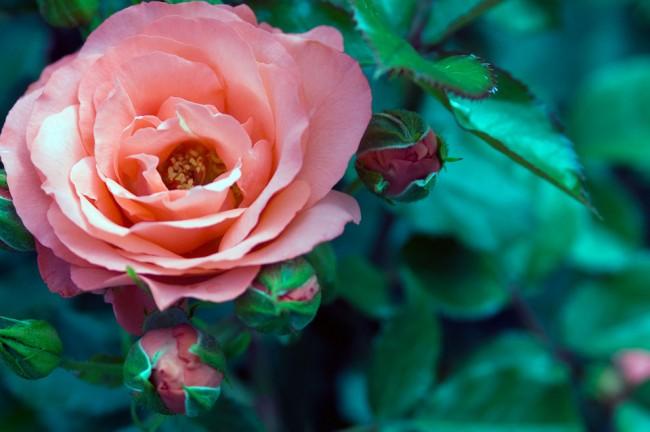 """Роза """"Marmalade Skies"""""""