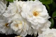 Фото 19 Роскошные кустовые розы: 50 изысканных садов с королевским ландшафтом (фото)