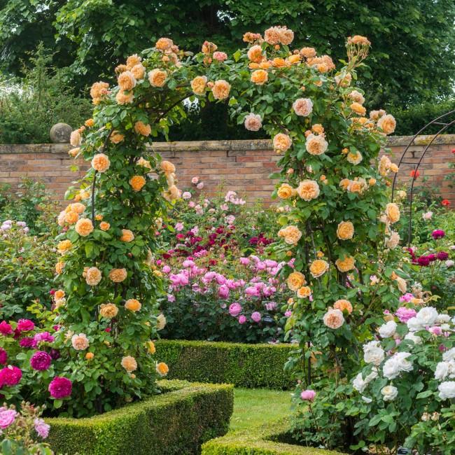 Тому, кто хоть раз видел цветущие кустовые розы, трудно удержаться от соблазна посадить их у себя в саду