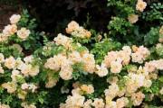 Фото 21 Роскошные кустовые розы: 50 изысканных садов с королевским ландшафтом (фото)
