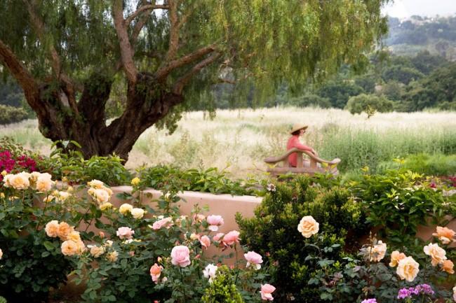 Кустовые розы очень любимы и широко применяются ландшафтными дизайнерами