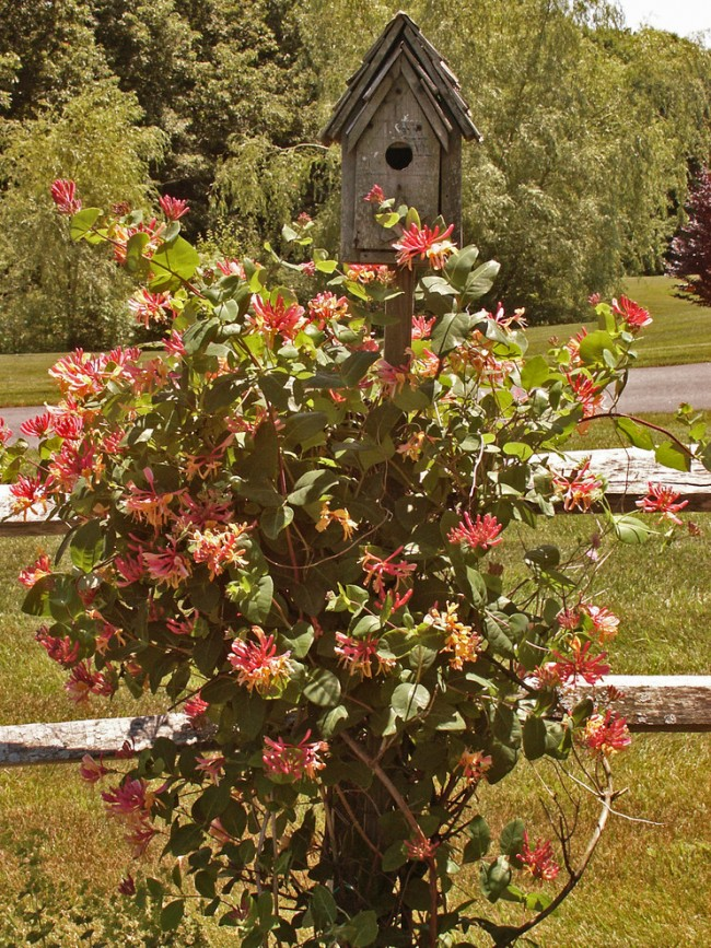 Саженец кампсиса всего за один-два года превращается в шикарную древовидную лиану, усеянную оранжевыми цветами интересной формы