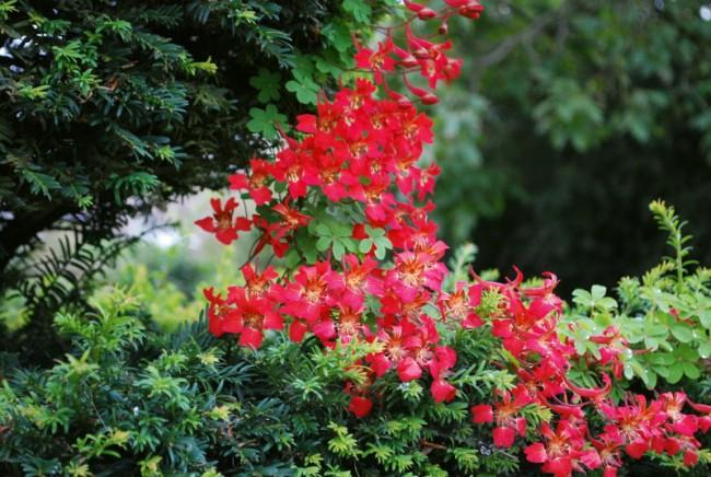 Семейство Настурциевых (Tropaeolaceae) включает до 90 видов травянистых растений родом из Южной и Центральной Америки. Вид листьев и цветков у них довольно различен