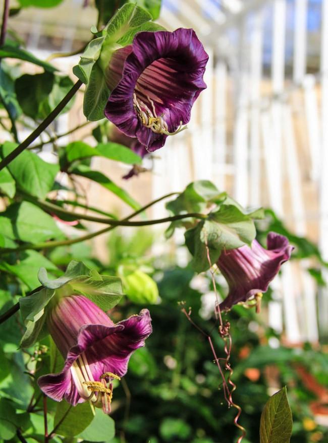 Прекрасная способность однолетних плетущихся растений быстро наращивать массу дает возможность создавать настоящие шедевры в саду