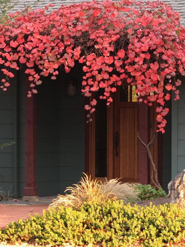 """Калифорнийский дикий виноград сорта """"Roger's Red"""", оплетающий крыльцо"""