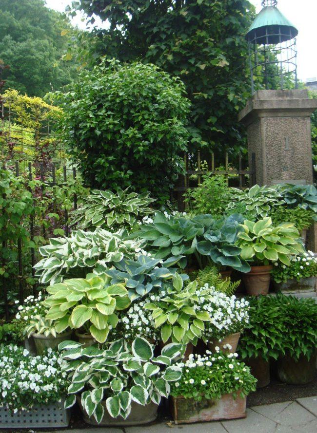 Оформление сада с помощью хосты в горшках