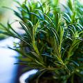 Средиземноморские ароматы круглый год: выращивание розмарина в квартире и его применение фото