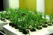 Фото 20 Средиземноморские ароматы круглый год: выращивание розмарина в квартире и его применение