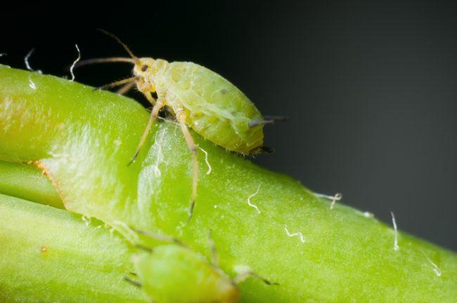 В зимний период времени растение имеет низкий иммунитет, поэтому может быть поражен разными видами болезней (тля, клещ, ложномучнистая роса, белокрылка)