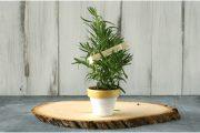 Фото 4 Средиземноморские ароматы круглый год: выращивание розмарина в квартире и его применение