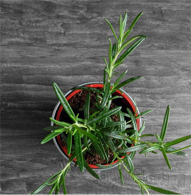 Уличное растение розмарин также можно выращивать и в домашних условиях