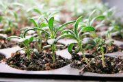 Фото 5 Средиземноморские ароматы круглый год: выращивание розмарина в квартире и его применение
