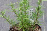 Фото 8 Средиземноморские ароматы круглый год: выращивание розмарина в квартире и его применение
