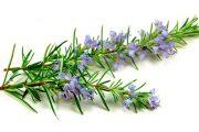 Фото 11 Средиземноморские ароматы круглый год: выращивание розмарина в квартире и его применение