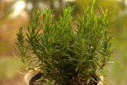 Фото 12 Средиземноморские ароматы круглый год: выращивание розмарина в квартире и его применение