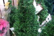 Фото 19 Средиземноморские ароматы круглый год: выращивание розмарина в квартире и его применение