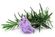 Фото 3 Средиземноморские ароматы круглый год: выращивание розмарина в квартире и его применение