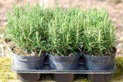 Фото 21 Средиземноморские ароматы круглый год: выращивание розмарина в квартире и его применение