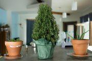 Фото 2 Средиземноморские ароматы круглый год: выращивание розмарина в квартире и его применение