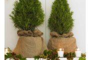 Фото 30 Средиземноморские ароматы круглый год: выращивание розмарина в квартире и его применение