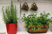 Фото 31 Средиземноморские ароматы круглый год: выращивание розмарина в квартире и его применение